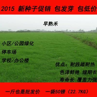 四季青 早熟禾草种四季常绿批发草籽批发