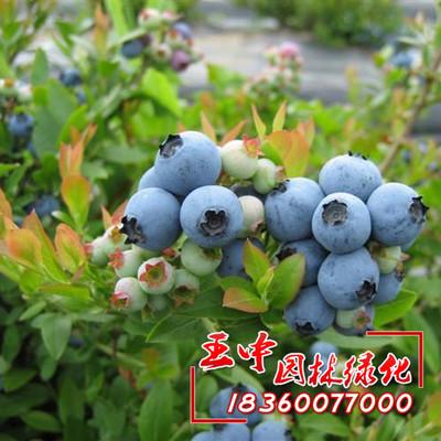 量批发蓝莓树苗盆栽优质蓝莓苗南方果树苗确保成活-资材供应 - 中国